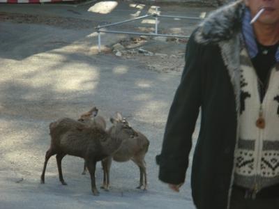 牡鹿半島・金華山にも多くの鹿がいます!